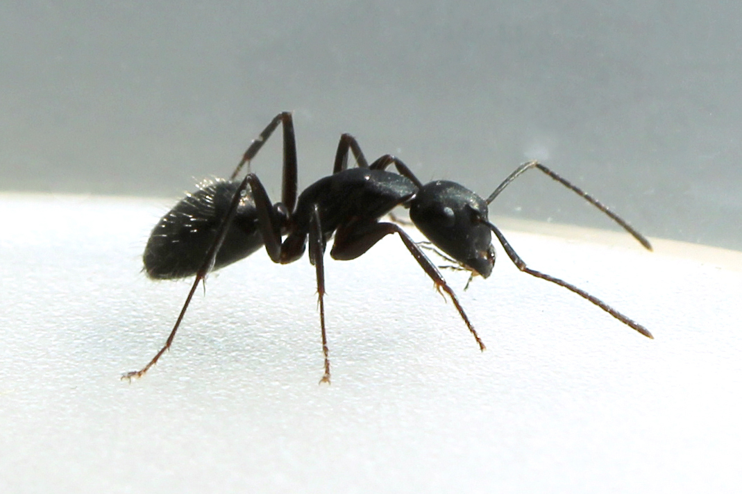 big black ant - photo #38