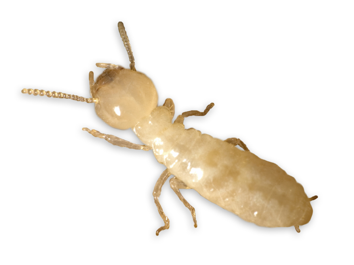 Image Result For Organic Termite Control