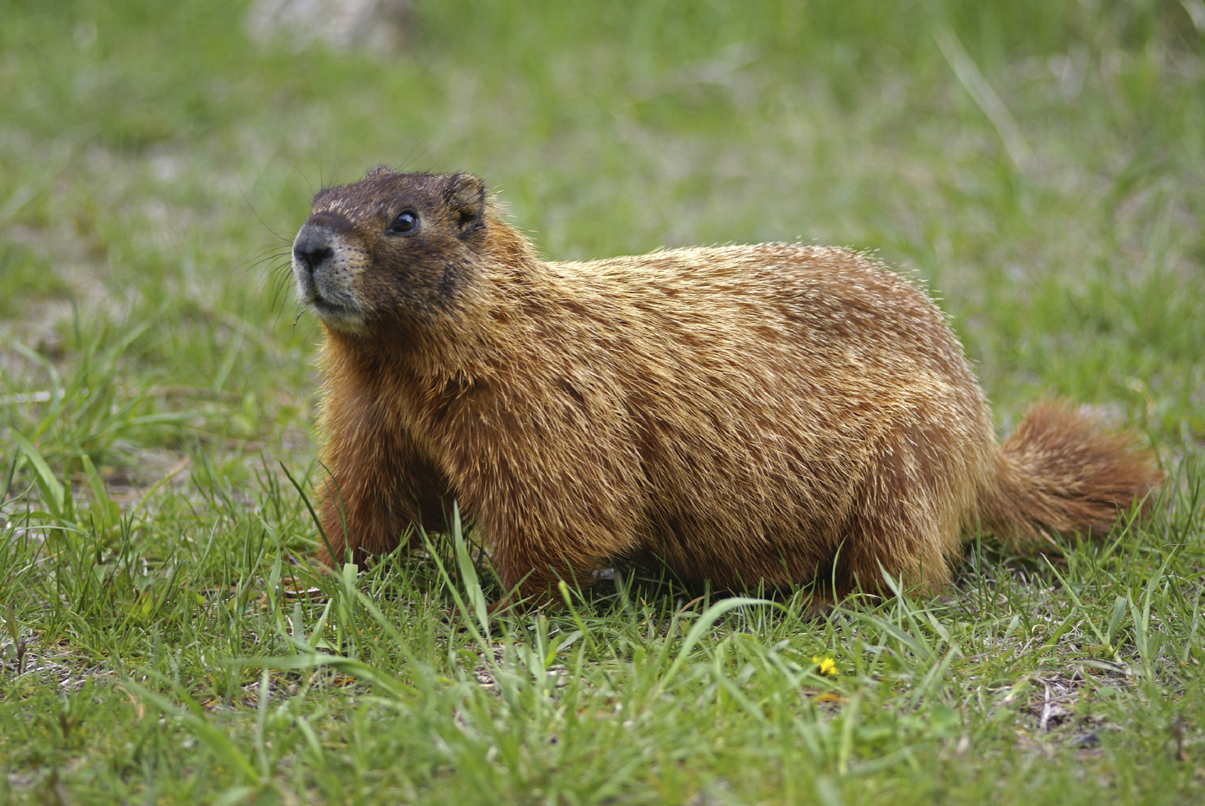 Video Feed Groundhog Day 2015 Live from Gobblers Knob