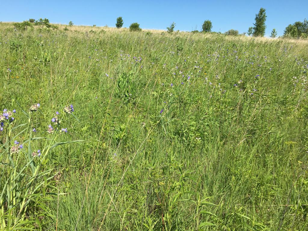 Erin Prairie WPA - Ohio Spiderwort