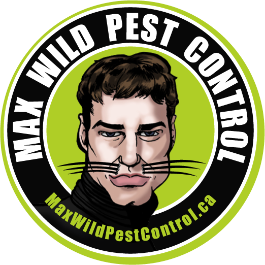 Raccoon Removal in Mississauga by Max Wild Pest Control and Human Animal Removal in Toronto with Max! Burlington Ontario Pest Control and Animal Control in Toronto. Get rid of pests and bats in Stoney Creek with Max Wild Pest Control!